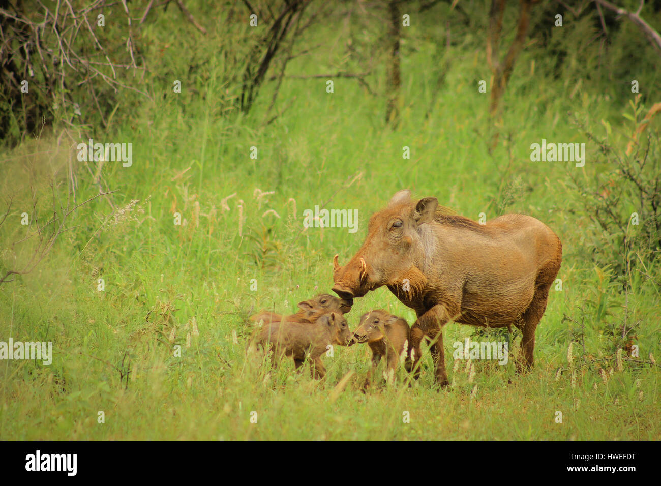 Female warthog with her children. - Stock Image