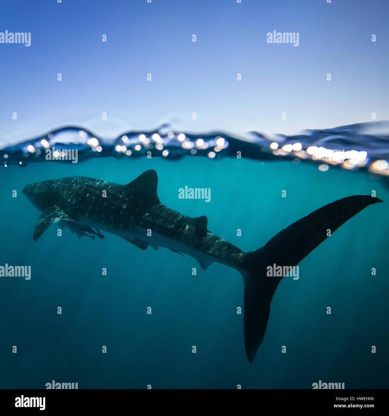 Whale Shark (Rhincodon typus) - Stock Image