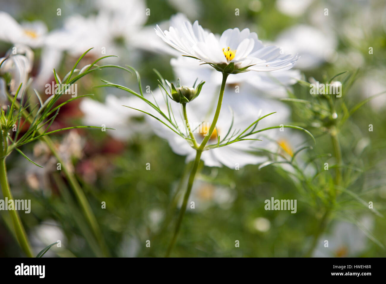 White cosmos flowers growing in a garden stock photo 136159879 alamy white cosmos flowers growing in a garden mightylinksfo