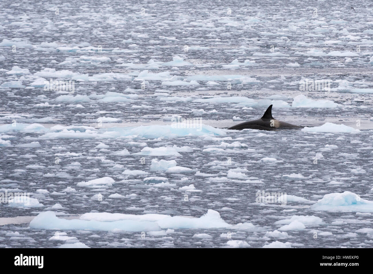 Orca (Orcinus orca) swimming in Lemaire channel, Antarctic - Stock Image