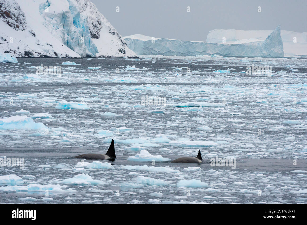 Orcas (Orcinus orca) swimming in Lemaire channel, Antarctic - Stock Image