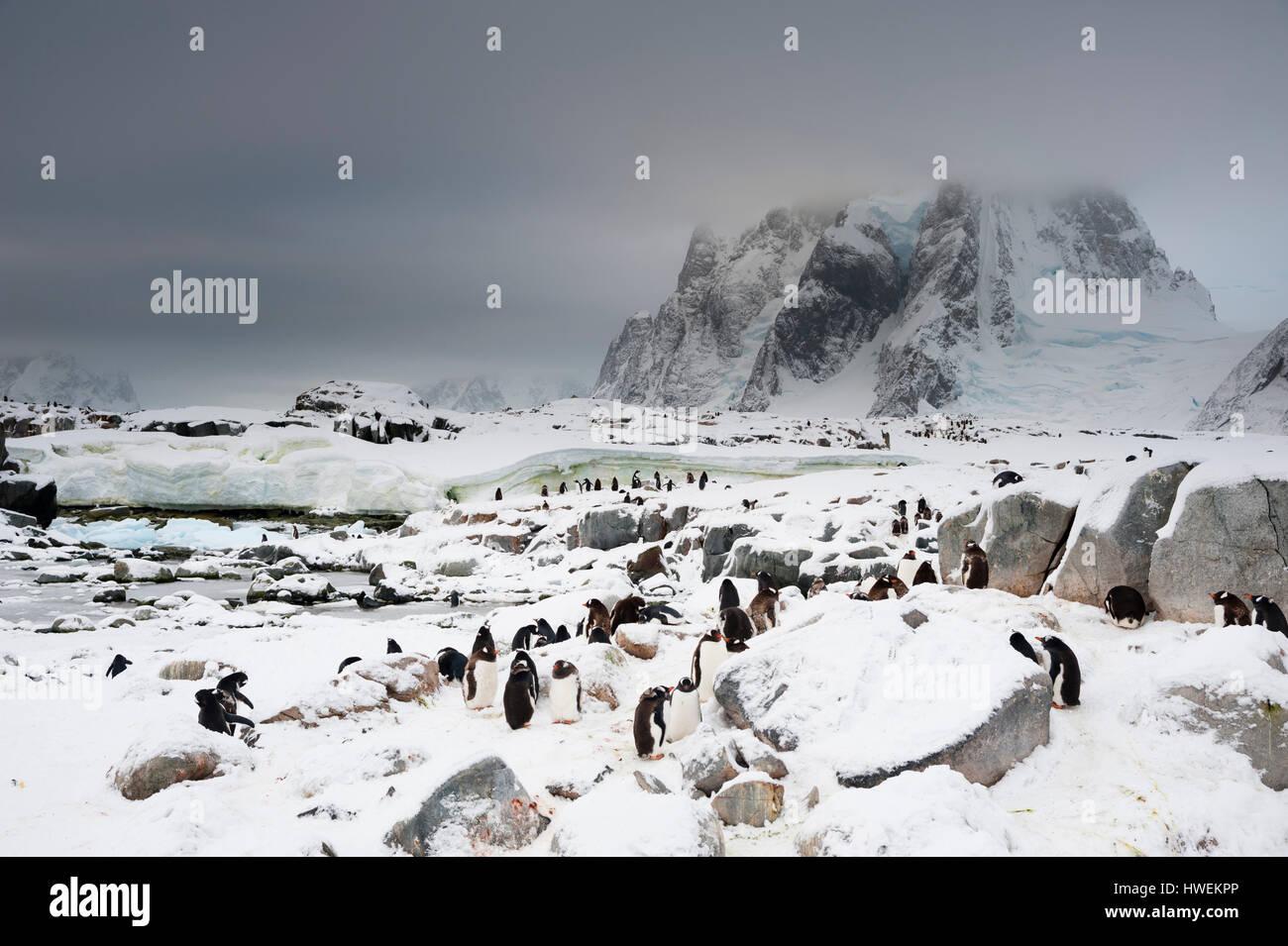 Gentoo penguin colony (Pygoscelis papua), Petermann Island, Antarctica - Stock Image