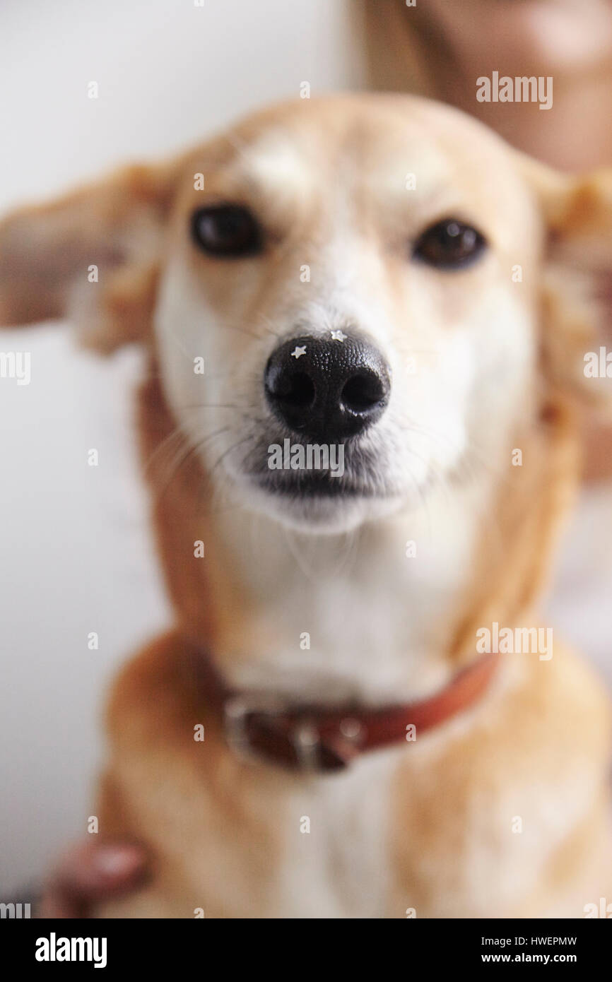 Portrait of dog with glittery stars on nose - Stock Image