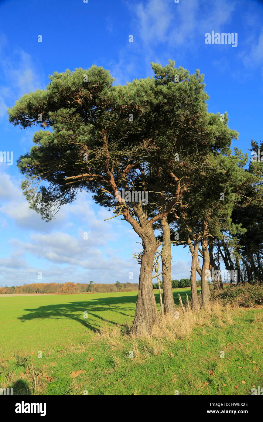 A line of Scots pine trees marking an field boundary in the countryside, Shottisham, Suffolk, England, UK - Stock Image