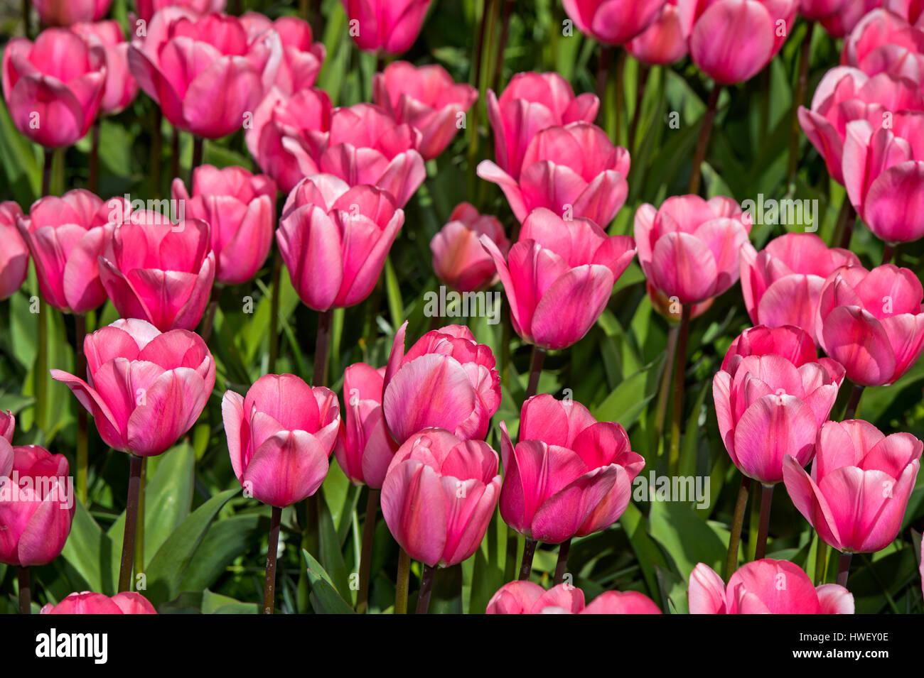 Pink Darwin Hybrid Tulips Love Me Tender, Keukenhof Flower Gardens, Lisse, Netherlands Stock Photo