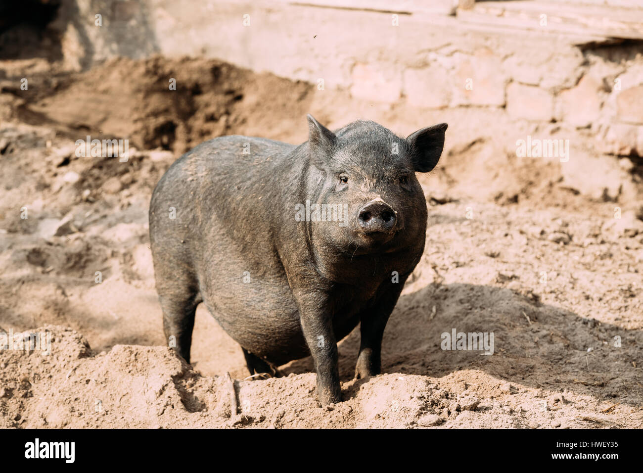 Household A Large Black Pig In Farm. Pig Farming Is Raising And Breeding Of Domestic Pigs. It Is A Branch Of Animal - Stock Image