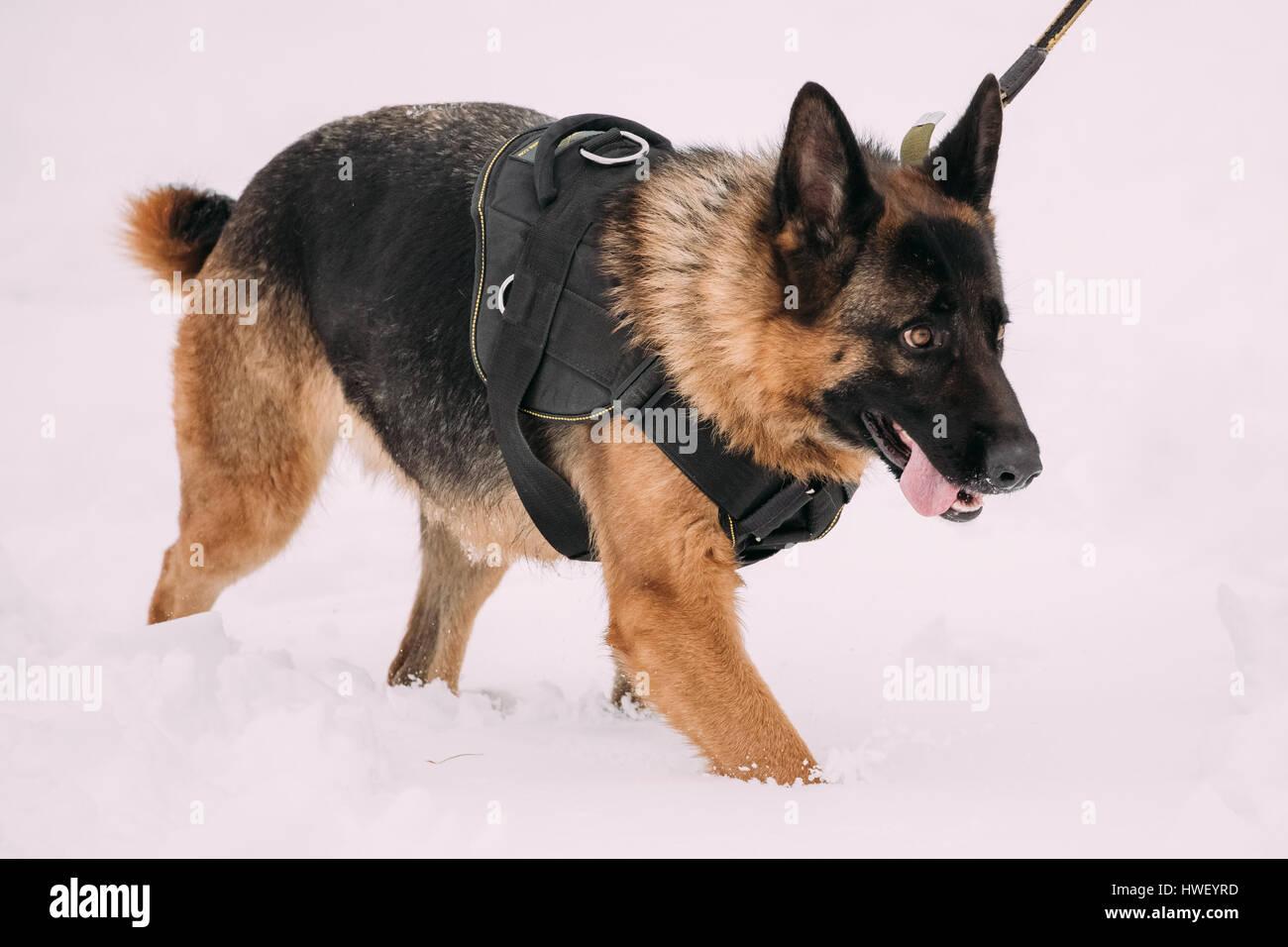 German Shepherd Dog Walking During Training. Winter Season. Training Of Purebred Adult Alsatian Wolf Dog - Stock Image