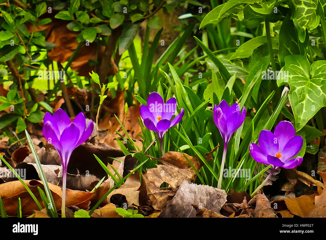 Mauve crocuses in bloom growing in a London garden Stock Photo