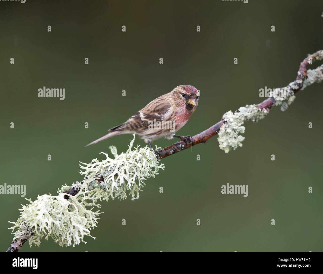 Redpoll  on a branch with common foliose lichen in winter 2017, Shropshire border with Wales,UK - Stock Image