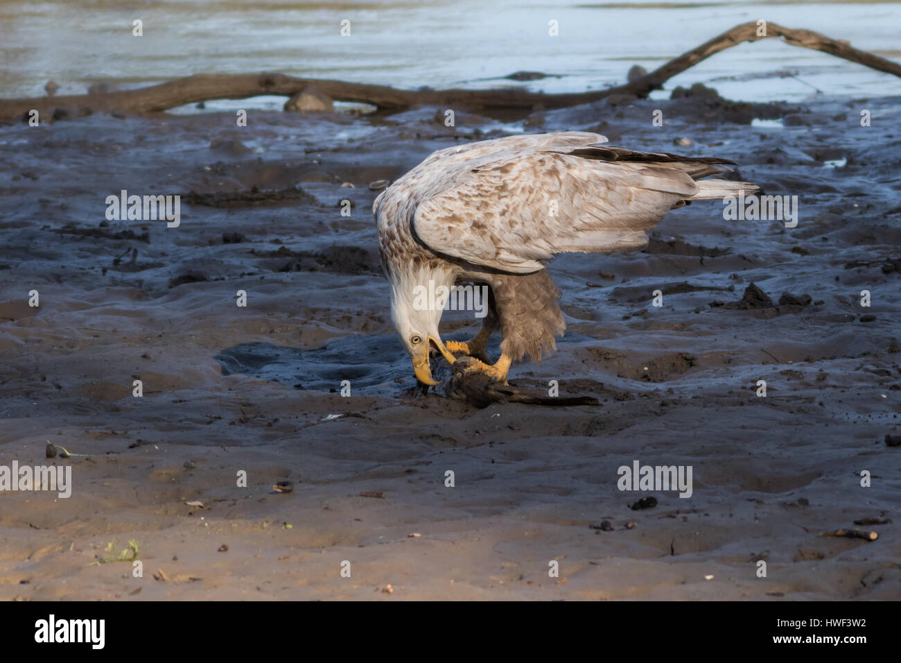 A rare Leucistic Bald Eagle feeds on a decaying catfish at the edge of lake. It is thought that one in every 1000 - Stock Image