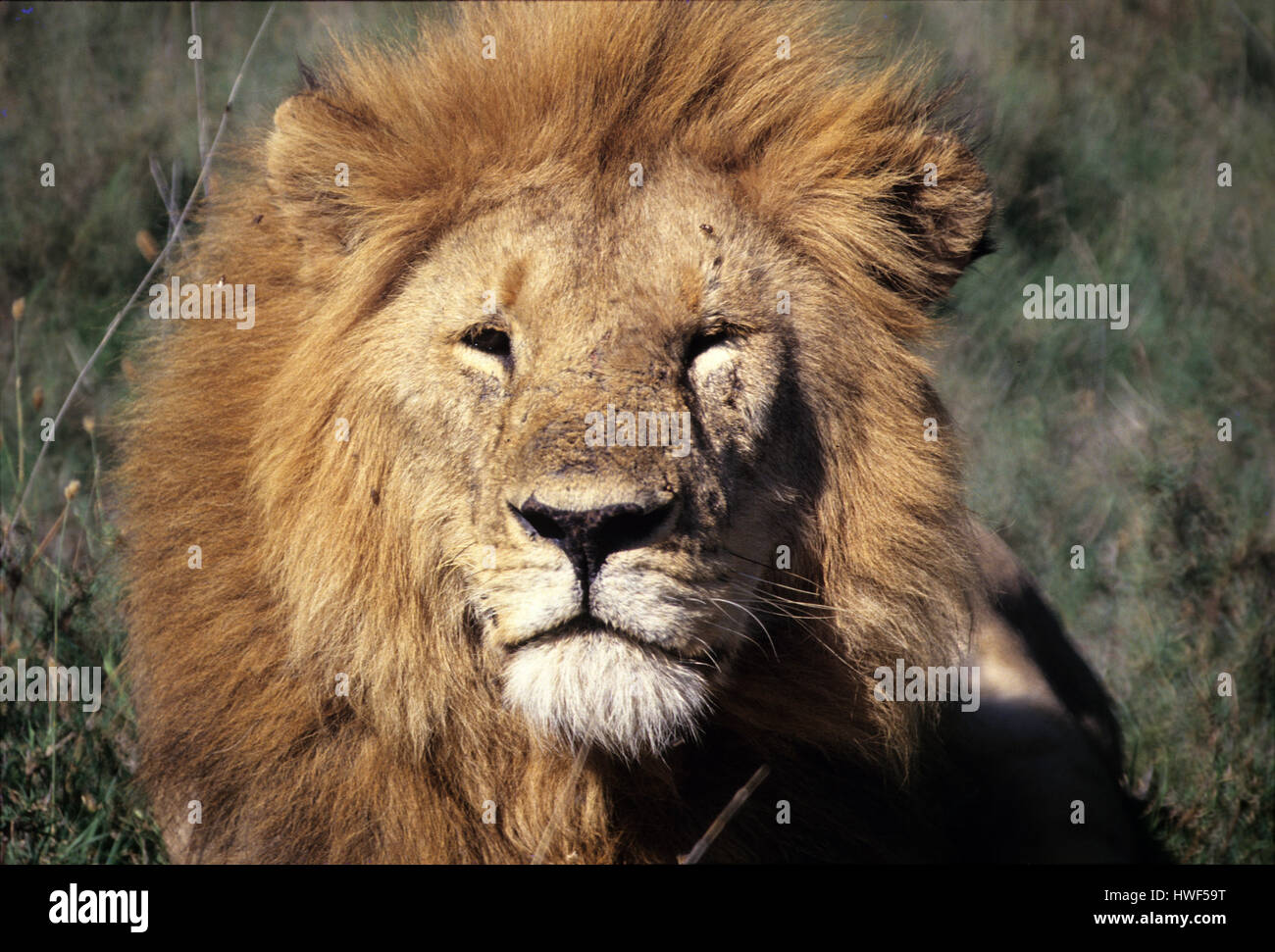 Male lion in Masai Mara Game Reserve, Kenya - Stock Image