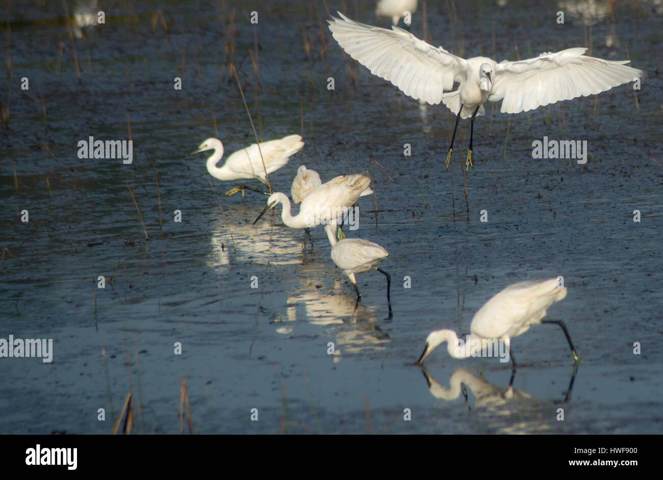 A Little Heron Bird Flying over other birds engaged in feeding themselves Stock Photo