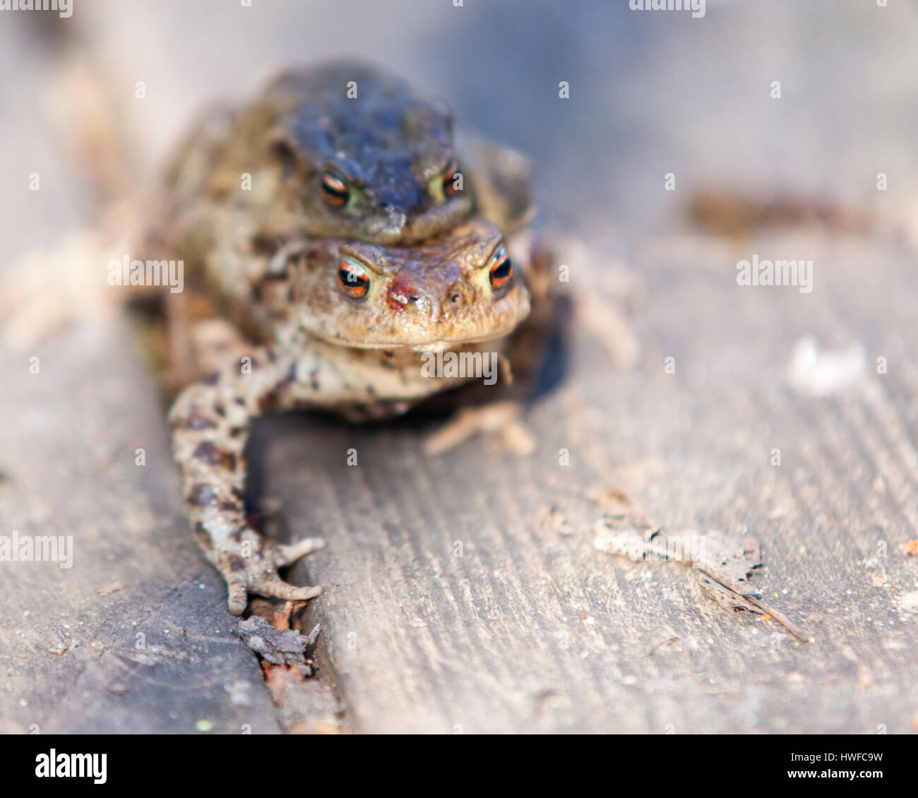 Pair of common European toads (Bufo bufo) mating  Model Release: No.  Property Release: No. - Stock Image