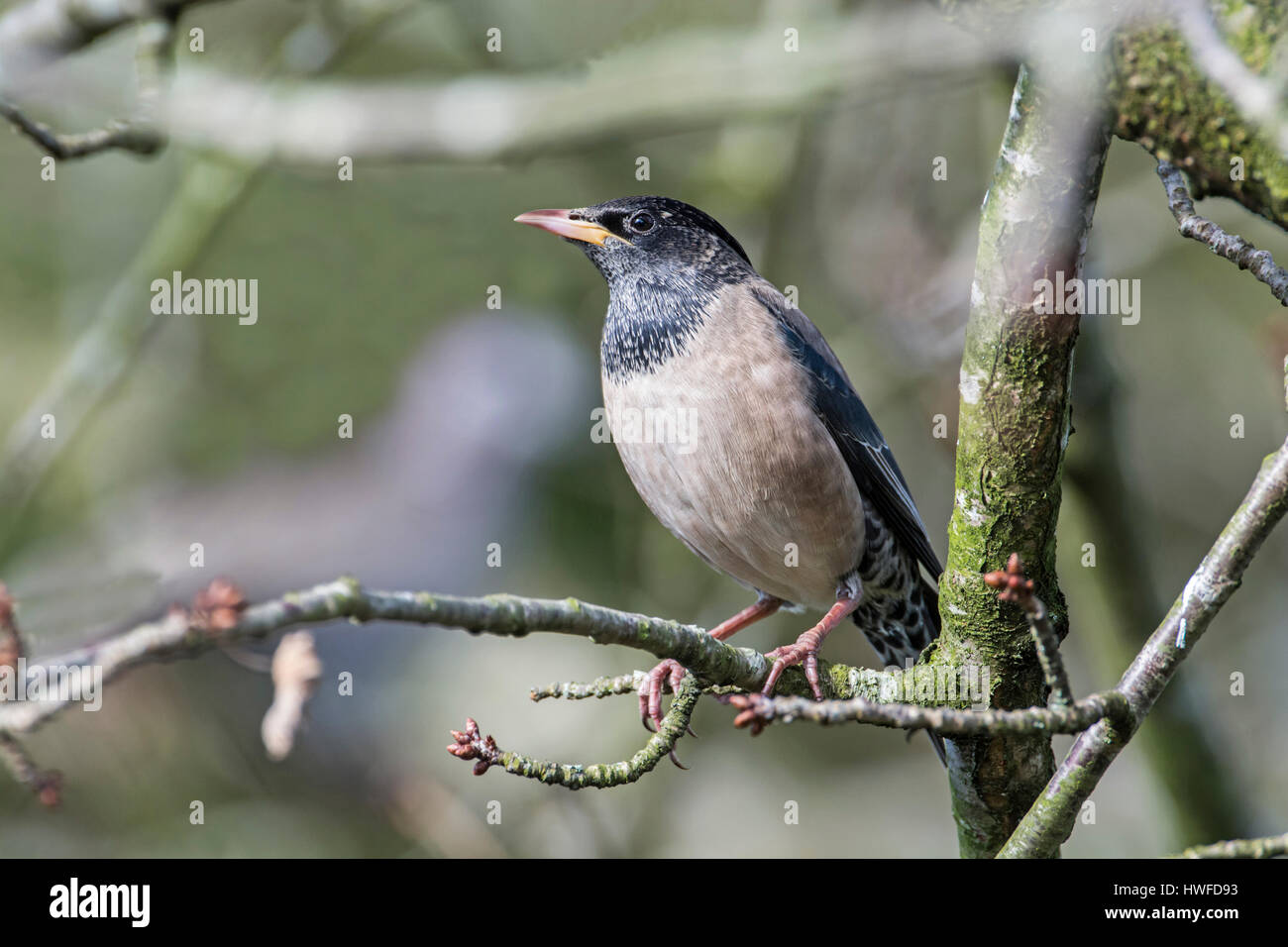 Rose-coloured starling (Sturnus roseus), Rare in the UK, this is the long-staying bird at Crawley, West Sussex, - Stock Image