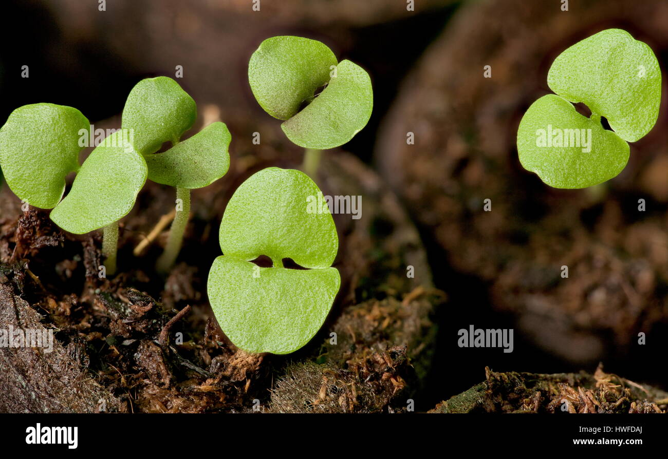 sprouts of basil  seedling  green land spring  macro - Stock Image
