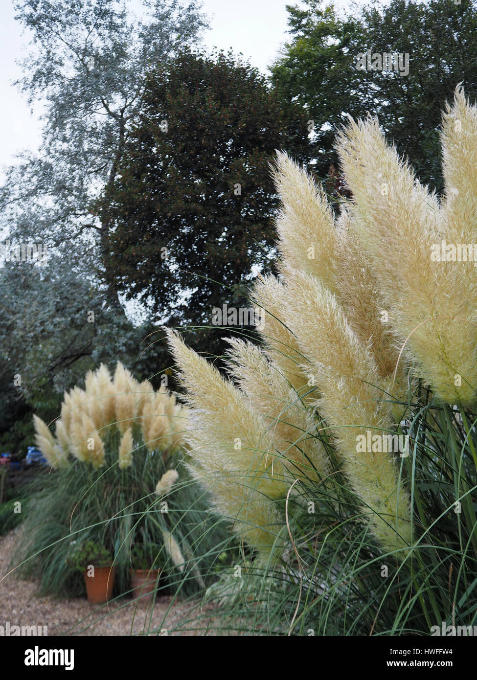 Pampas grass plumes and trees in Chenies Manor kitchen garden in autumn. Shades of green and texture detail. - Stock Image