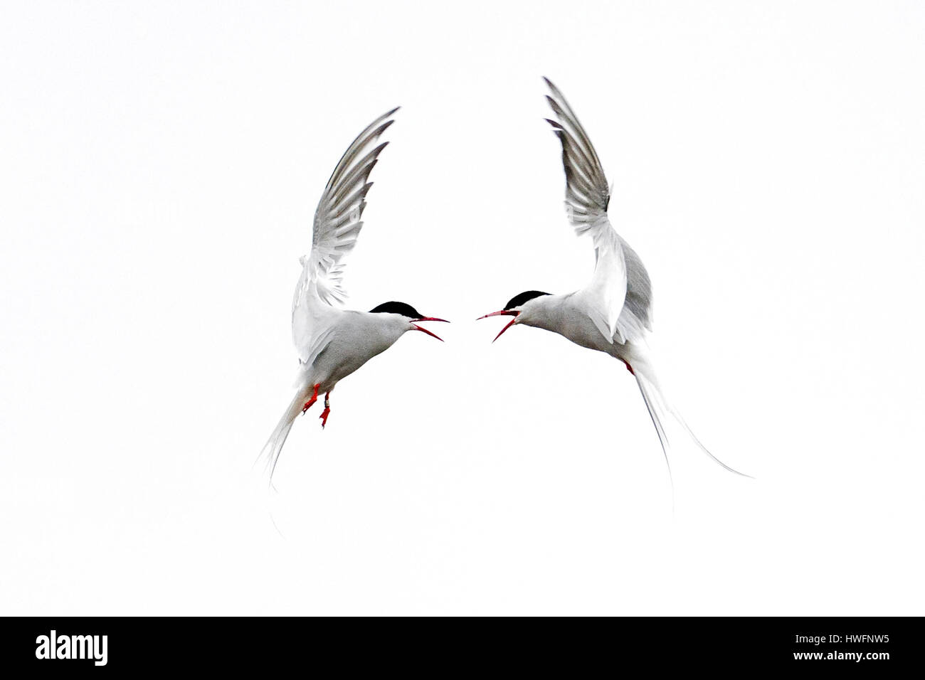 Zwei kaempfende Flussseeschwalben, Two arctic terns (Sterna paradisaea) fighting. - Stock Image