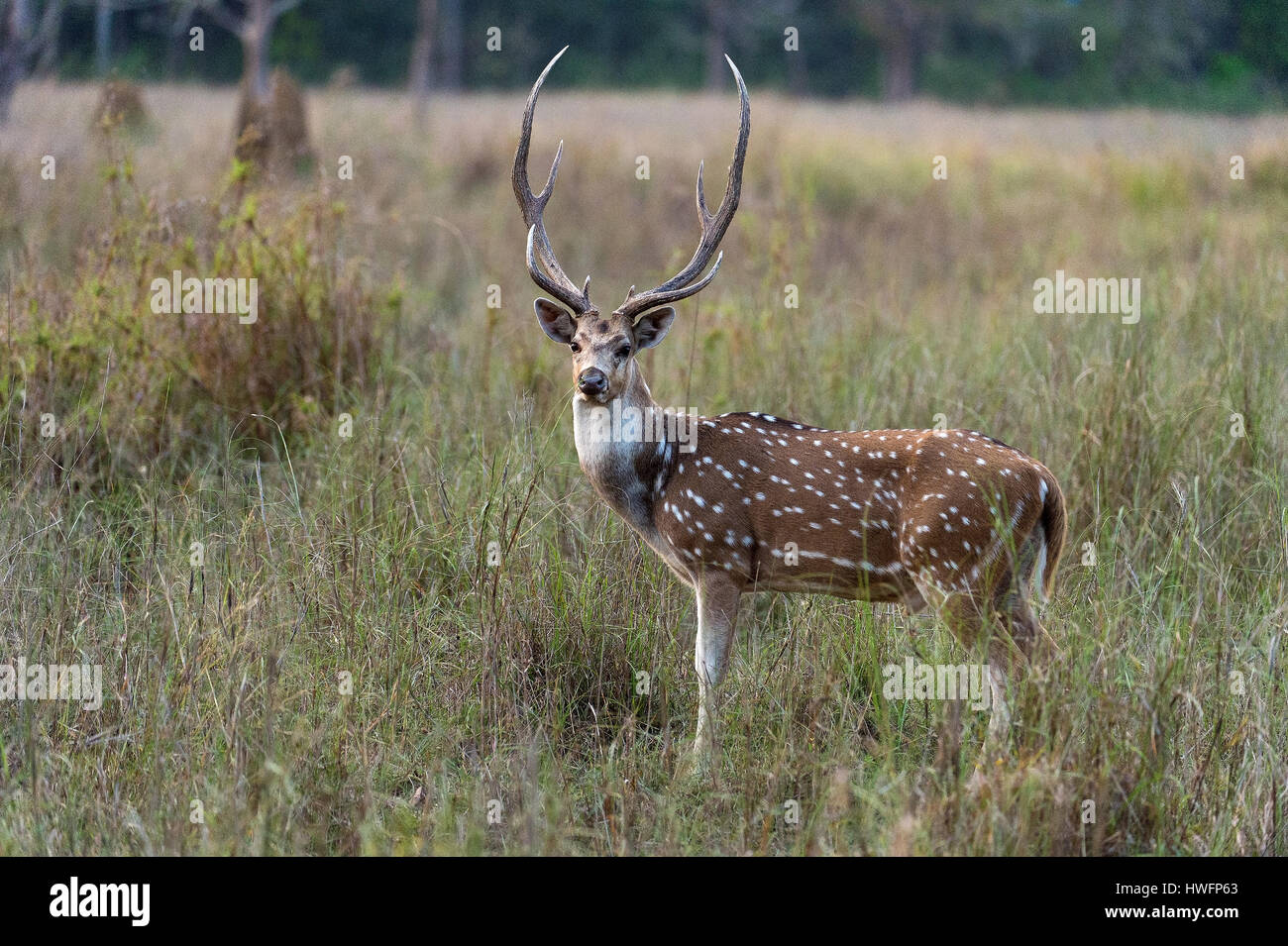 Spotted deer (Axis axis) from Kanha National Park, India. - Stock Image