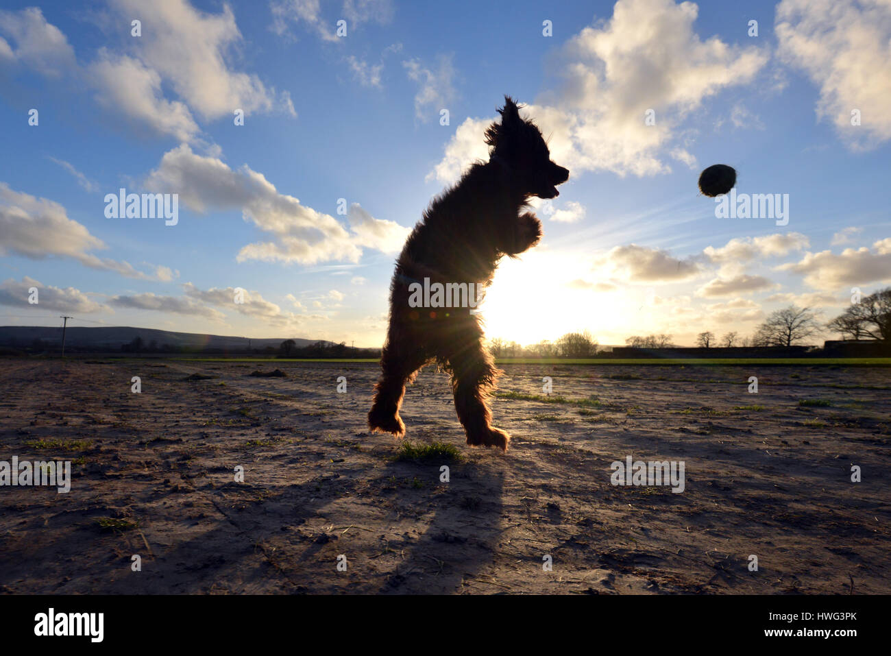 Ripe, East Sussex. 21st March 2017. Cocker spaniel leaping for a ball at the end of a bright and sunny Sussex day. Stock Photo