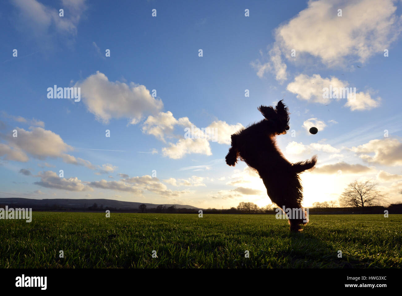 Ripe, East Sussex. 21st March 2017. Cocker spaniel leaping for a ball at the end of a bright and sunny Sussex day. - Stock Image