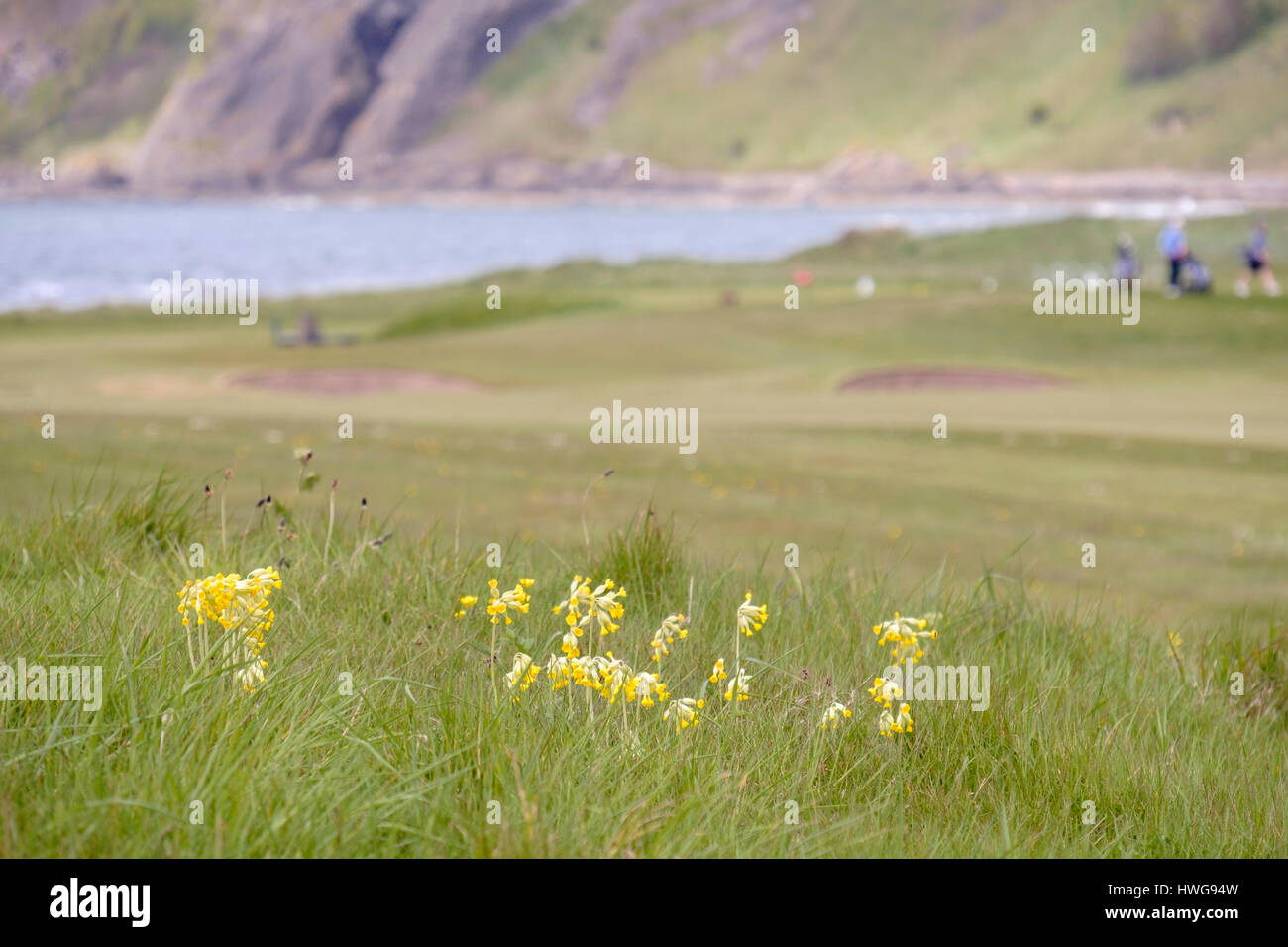 Cowslips (Primula veris) growing in rough grass on Earlsferry Links golf course in summer. Elie and Earlsferry, Stock Photo
