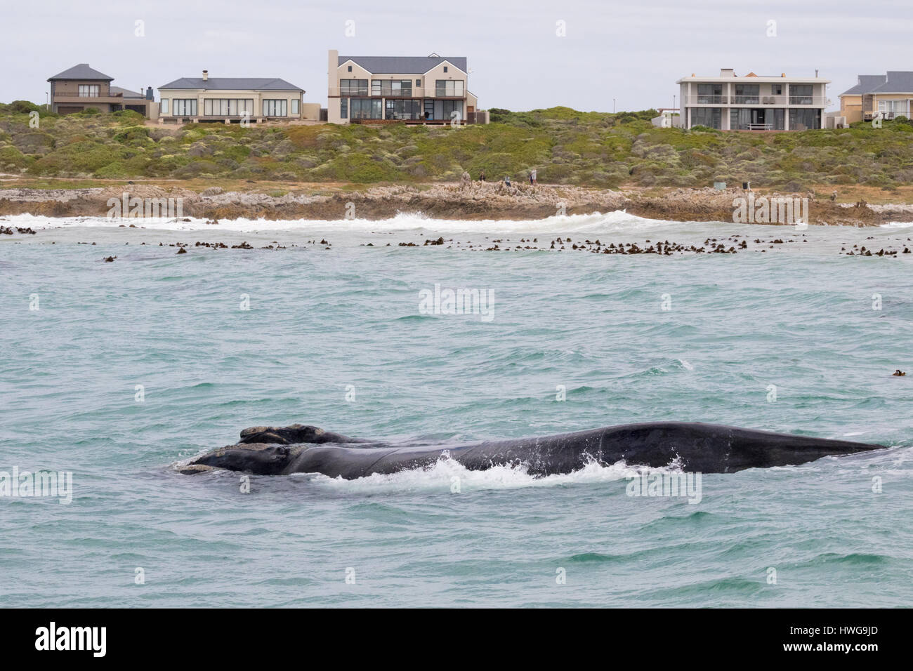 Hermanus South Africa - Southern Right Whale and calf; Whale watching off the coast of Hermanus, South Africa - Stock Image