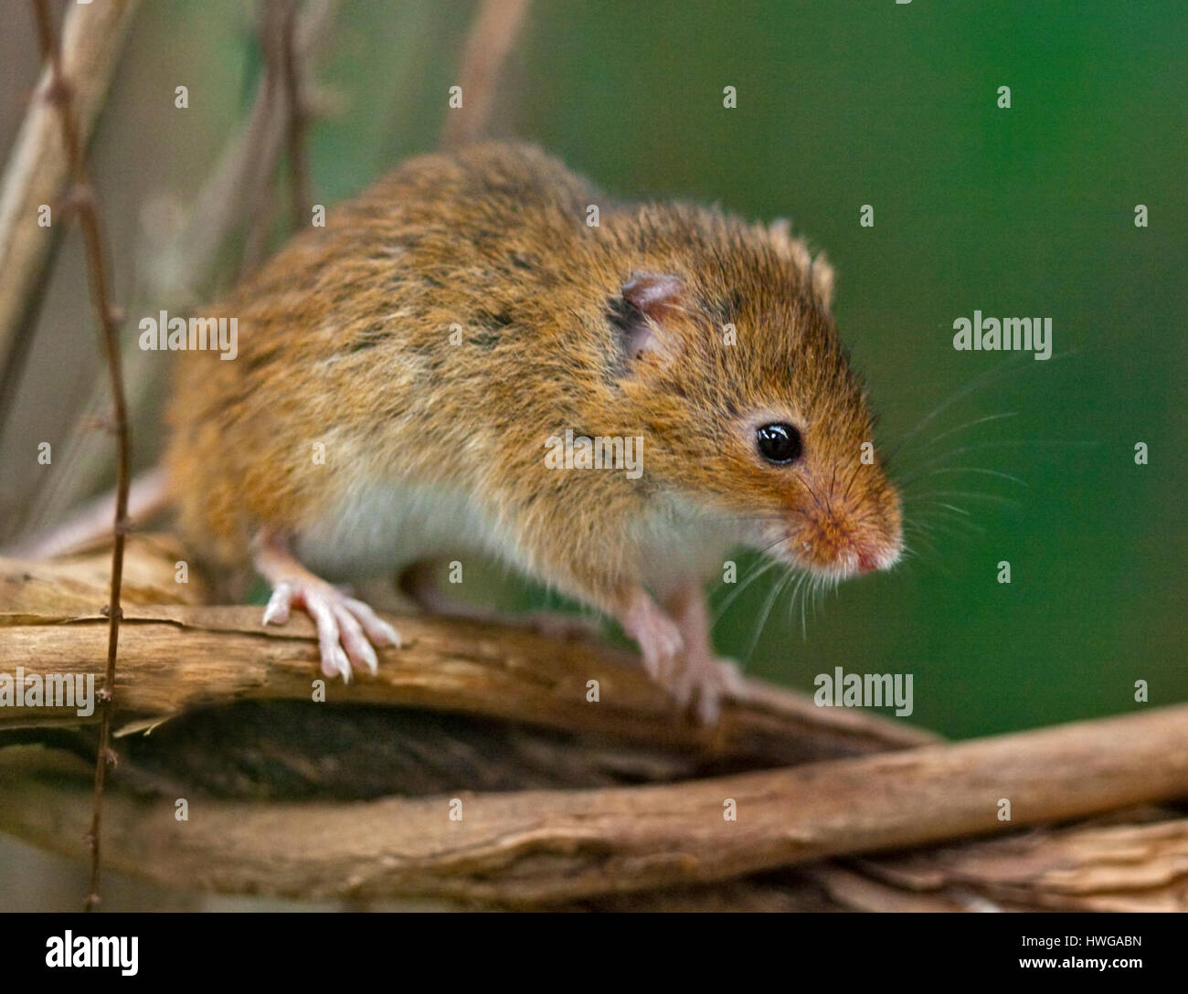Harvest Mouse (micromys minutus) - Stock Image