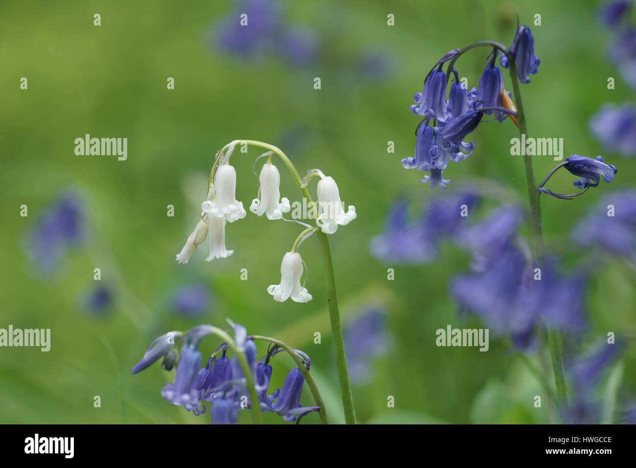 Hyacinthoides non-scripta (alba form) - Stock Image