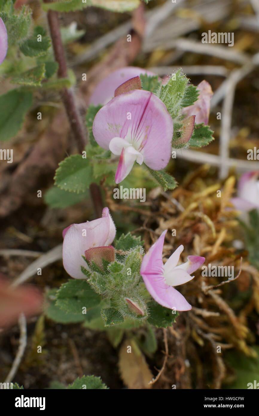 Ononis repens - Stock Image