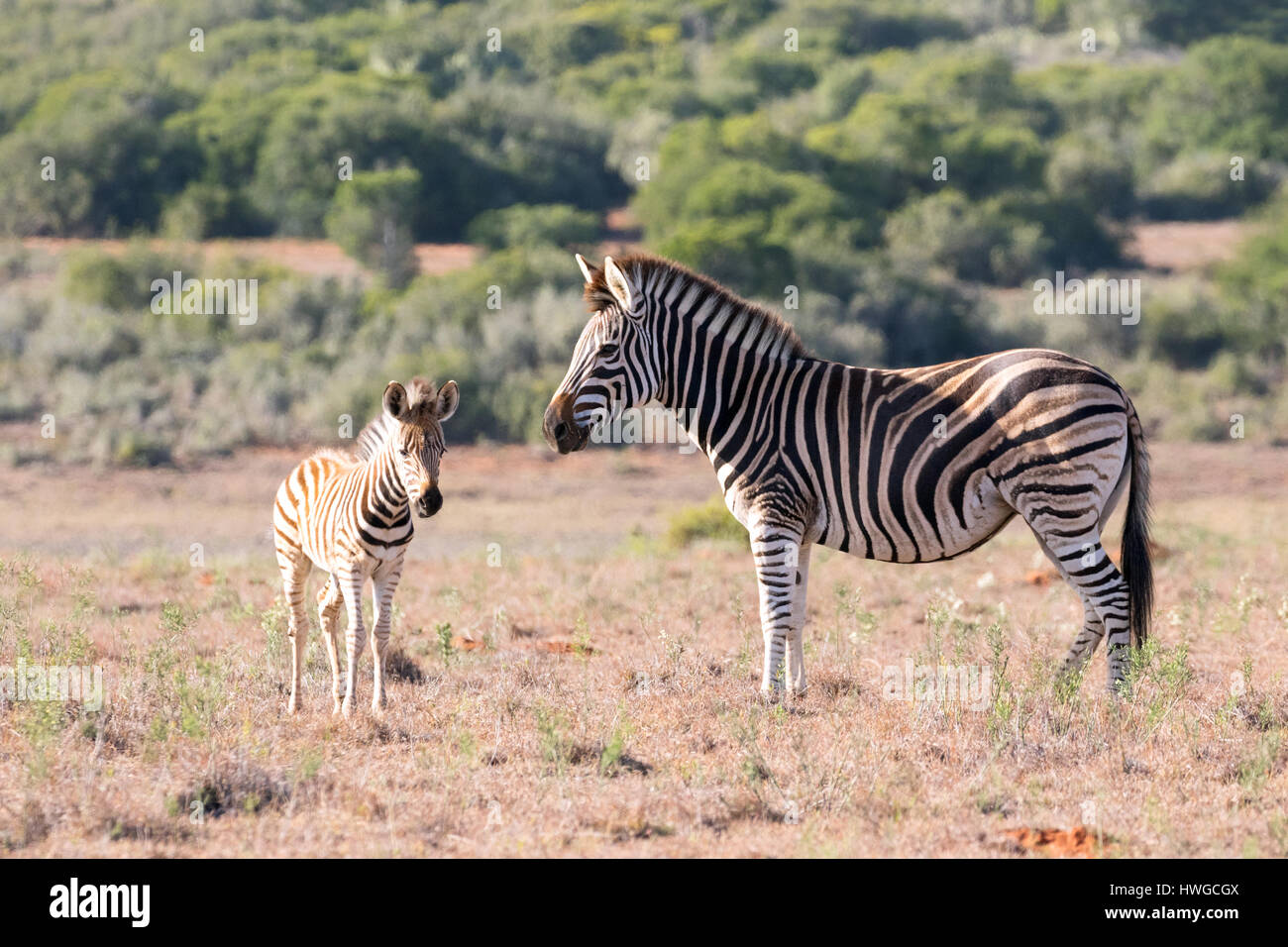 Zebra mother and baby, adult and foal,  Equus quagga; South Africa - Stock Image