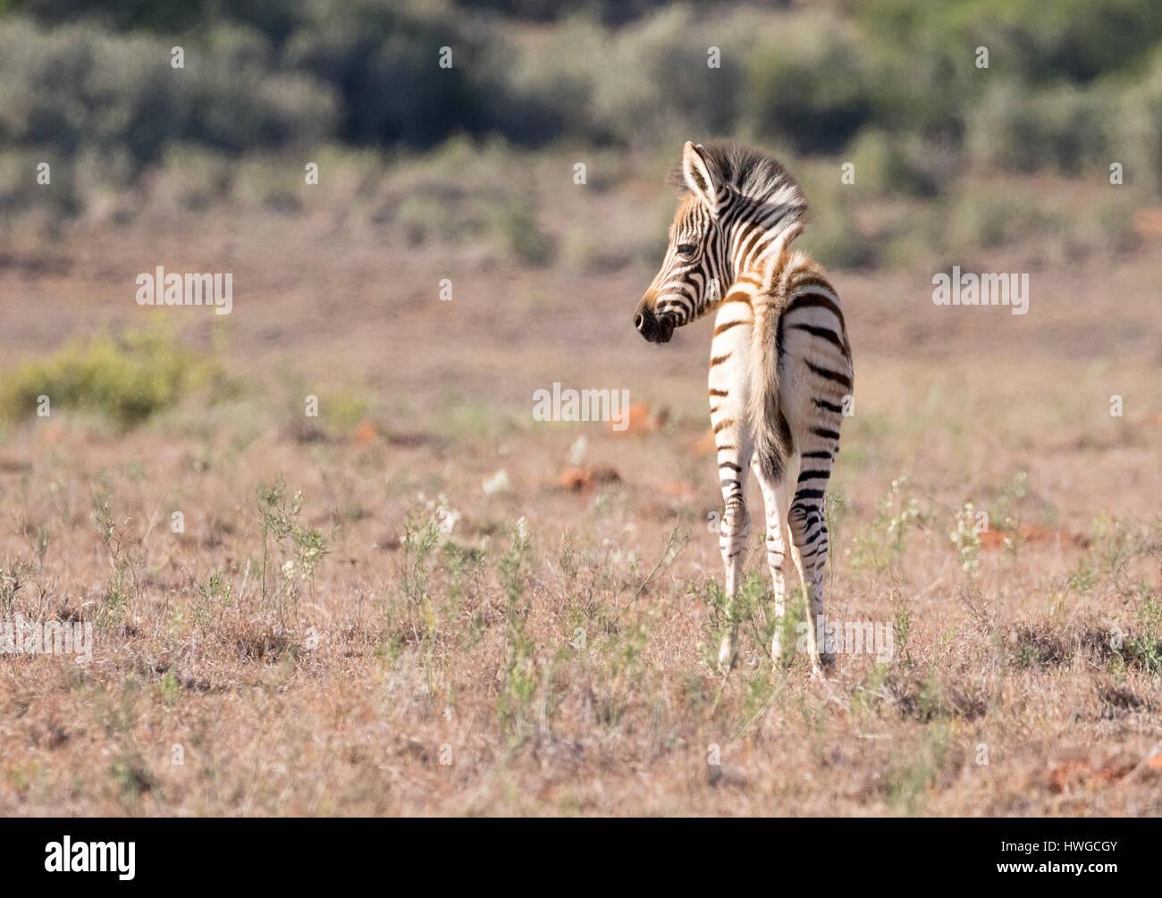 Zebra foal, baby zebra 3 days old, wild, Equus Quagga, South Africa - Stock Image