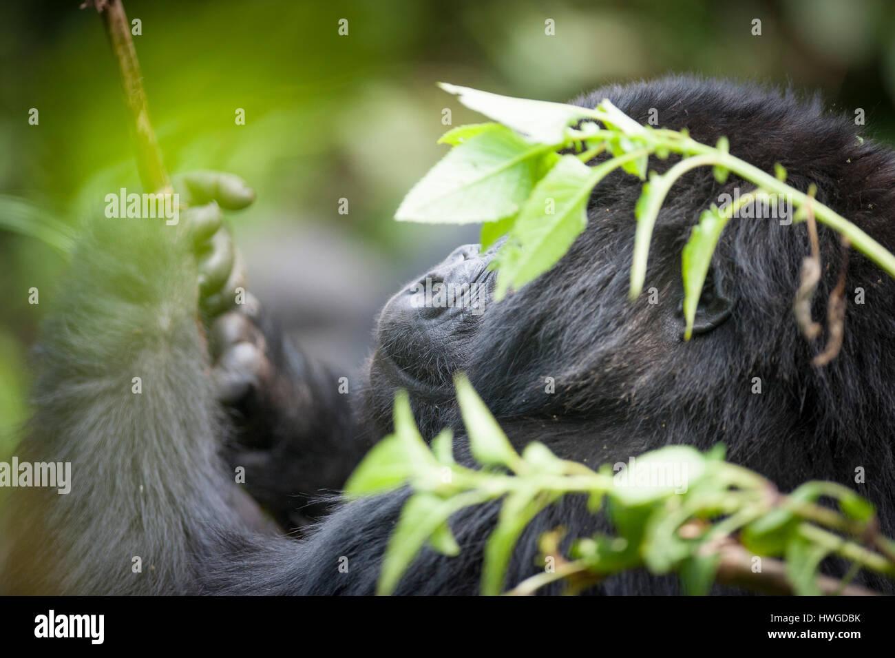 Mountain gorilla (Gorilla berengei berengei) trekking in Volcanoes National Park, Rwanda. Stock Photo
