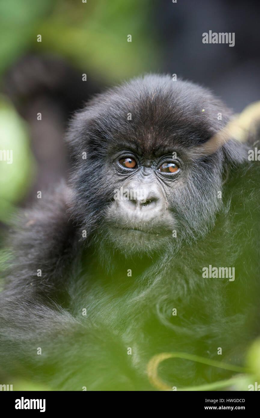 Mountain gorilla (Gorilla berengei berengei) trekking in Volcanoes National Park, Rwanda. - Stock Image