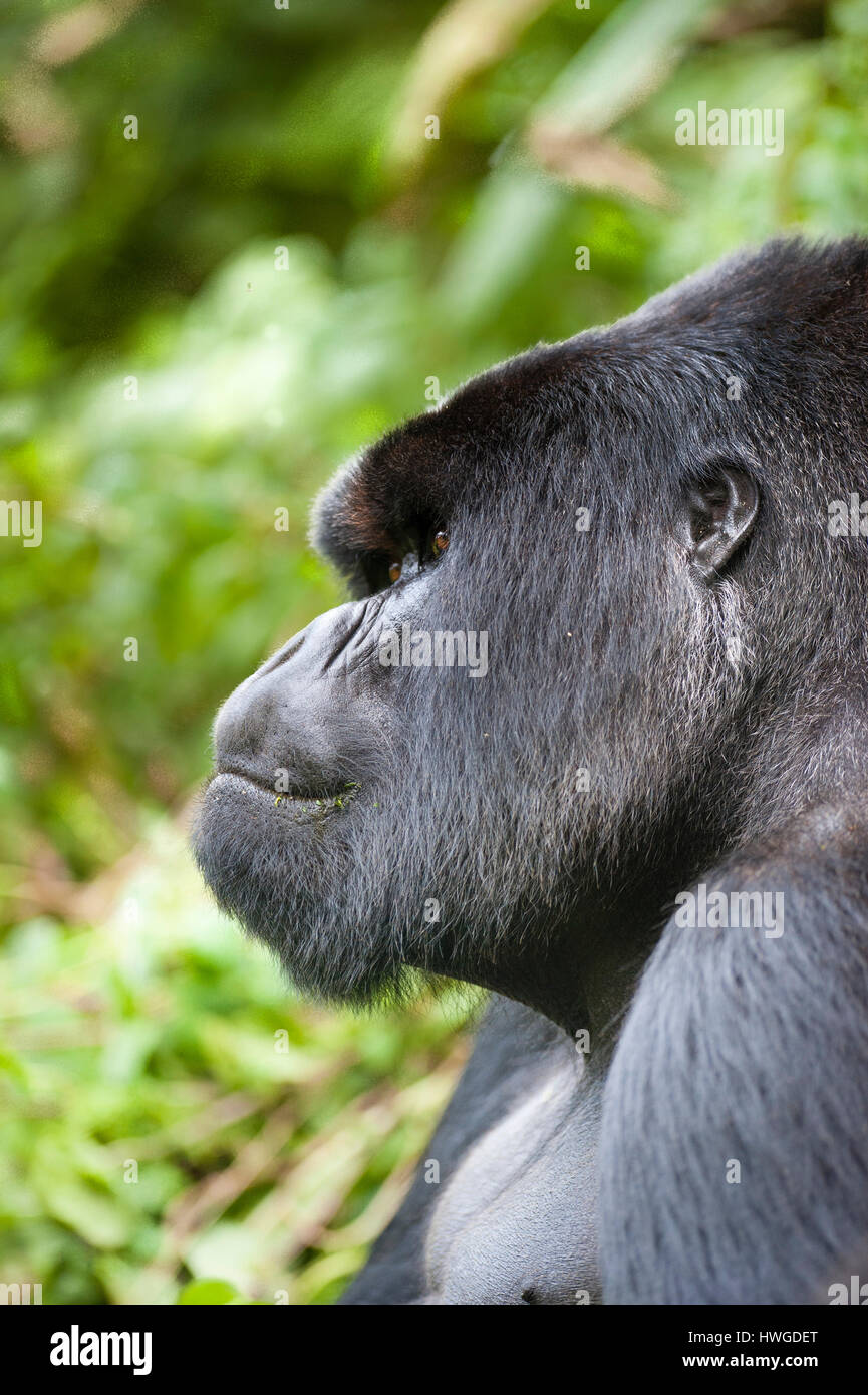 Mountain gorilla (Gorilla berengei berengei) trekking in Volcanoes National Park, Rwanda. - Stock Image