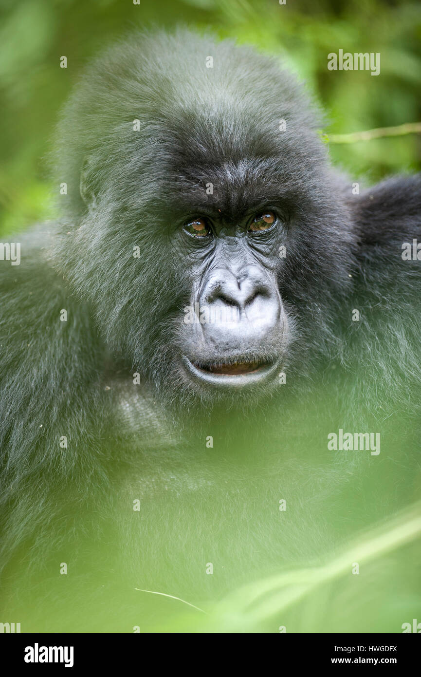 Mountain gorilla (Gorilla berengei berengei) trekking in Volcanoes National Park, Rwanda. Stock Photo