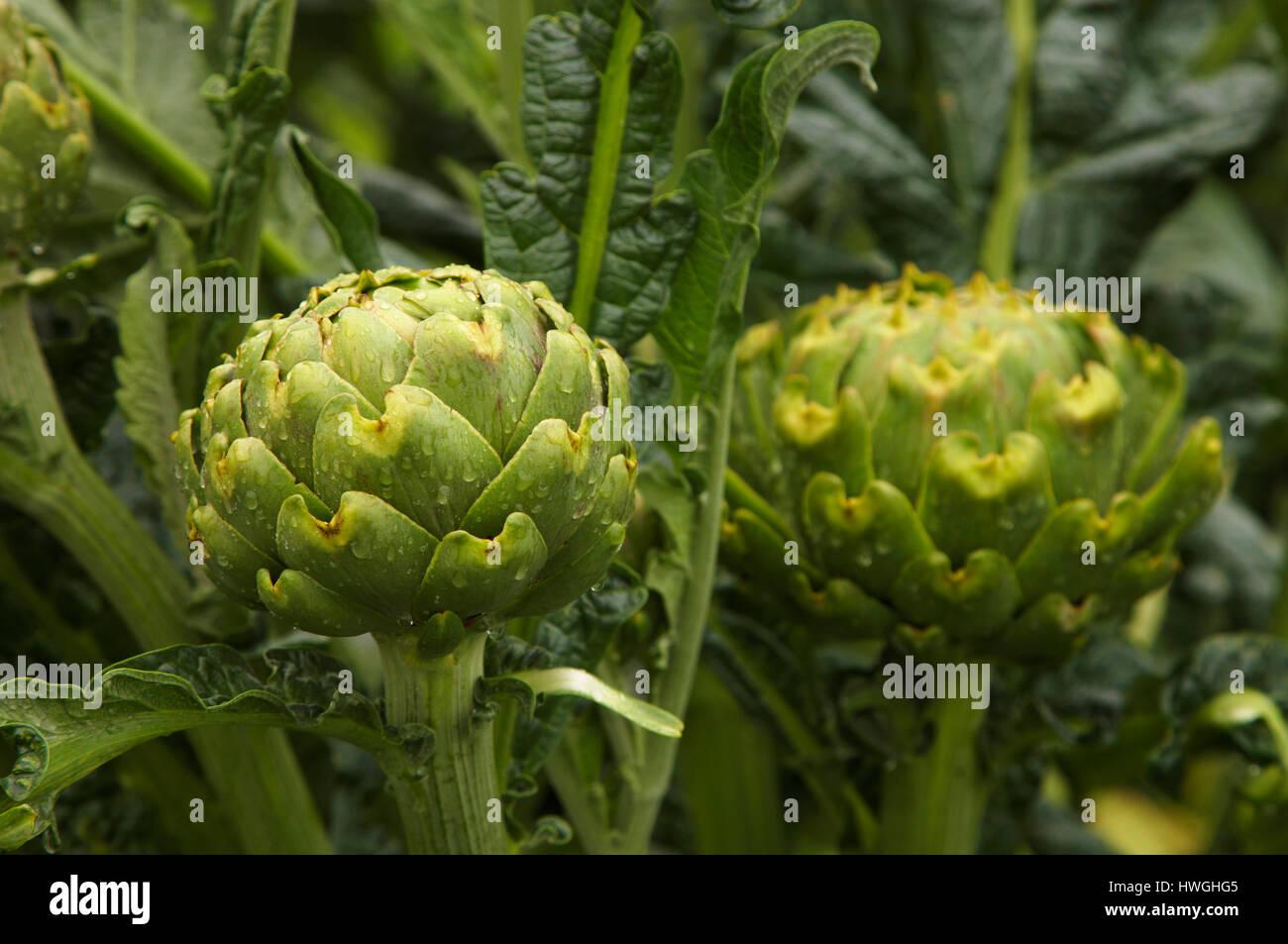 glossy green artichokes growing in vegatable patch Cynara cardunculus - Stock Image