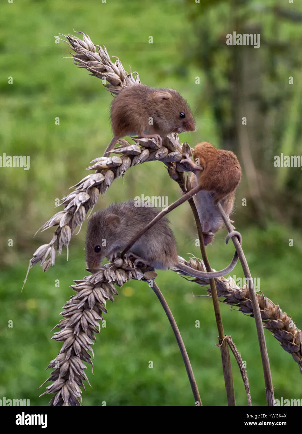 A group of three wild harvest mice feeding on ears of corn set in a natural background and in upright vertical format - Stock Image