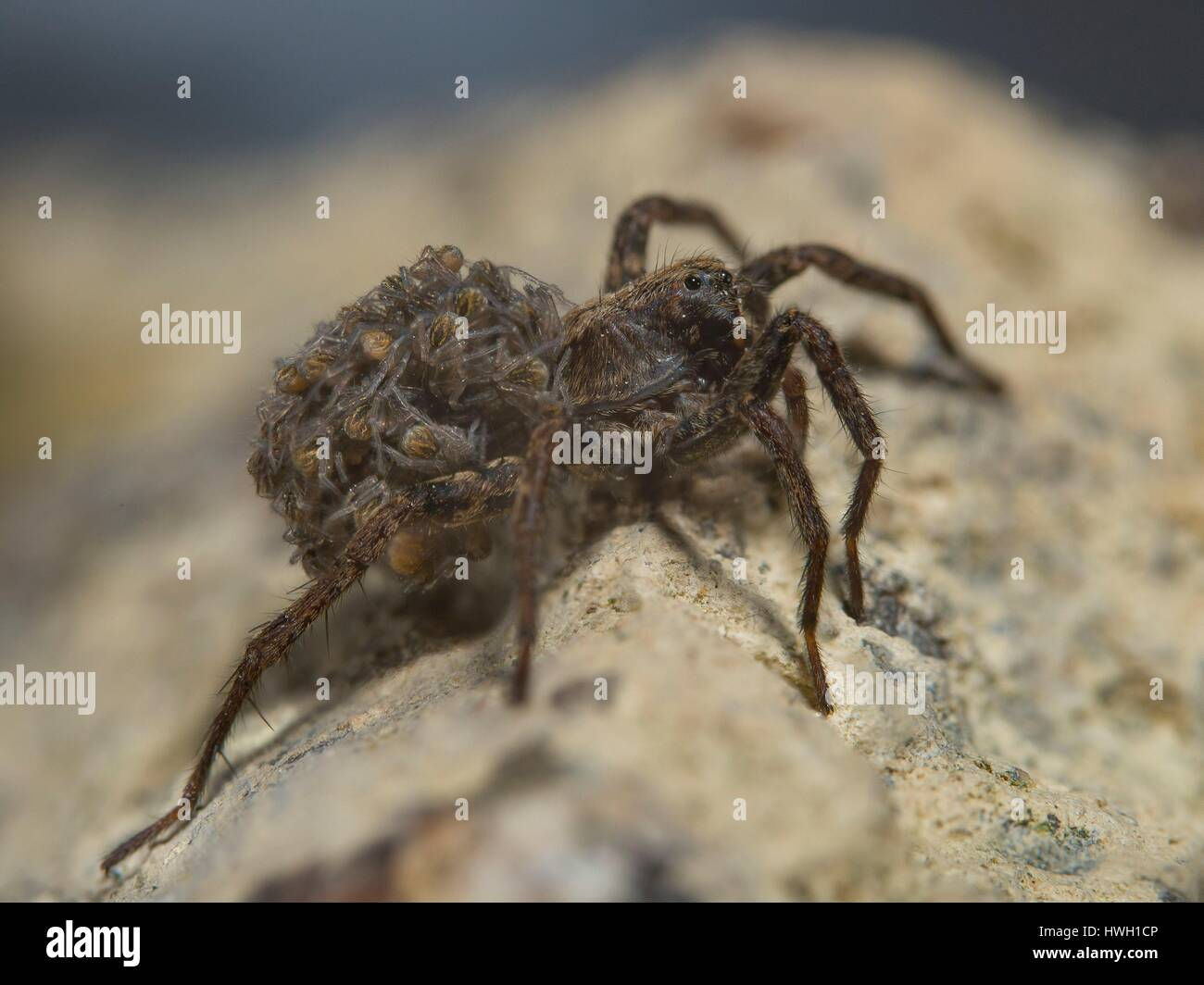 France, Auvergne, wolf spider (Pardosa amentata), the female carries her young on her back - Stock Image