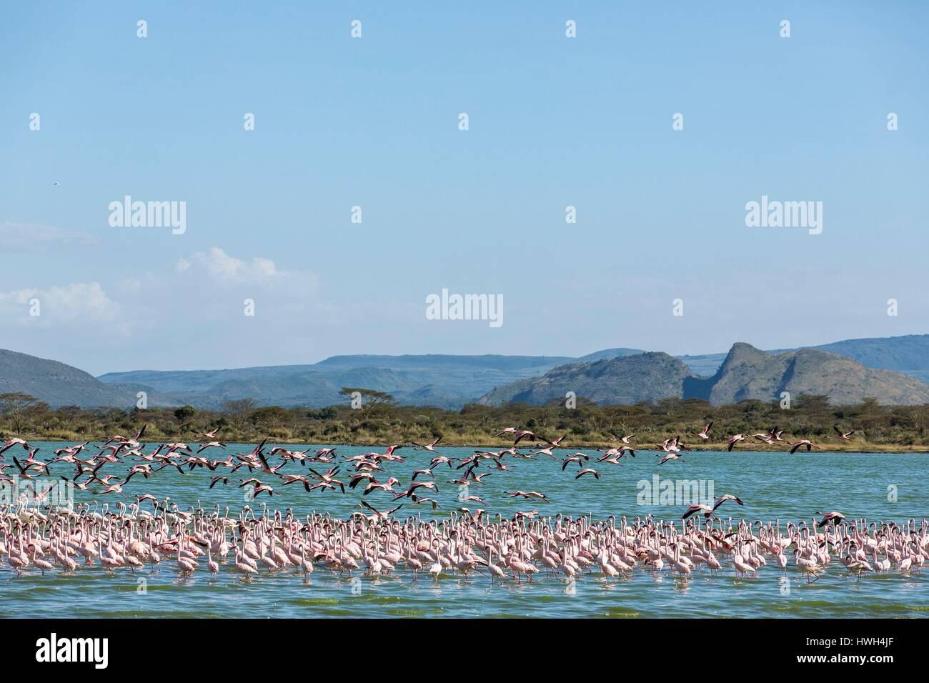 Kenya, Soysambu conservancy, lesser flamingo (Phoeniconaias minor), on the lake Elementeita Stock Photo