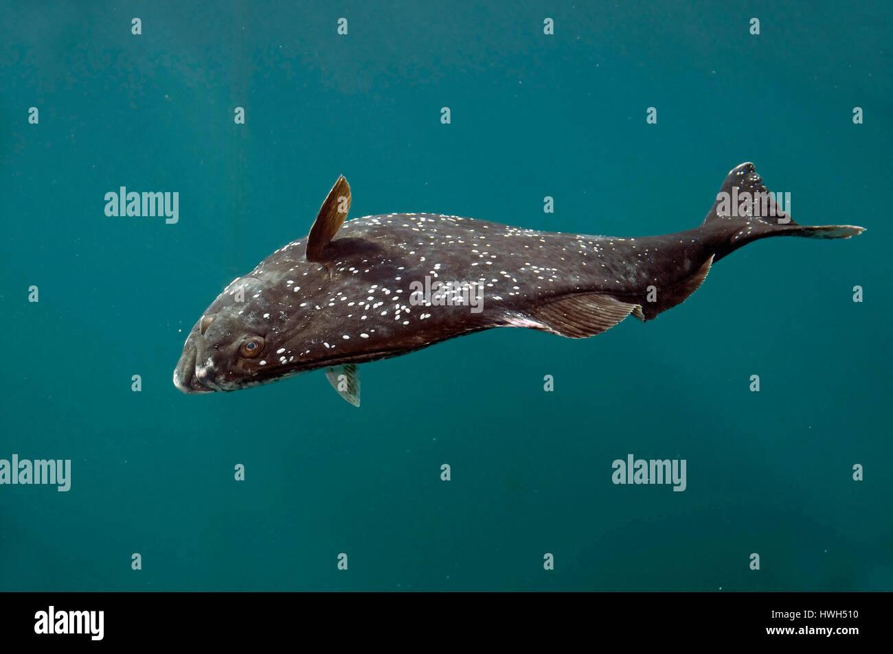 A 200 kg heavy Halibut (Hippoglossus hippoglossus). The white spots are parasites (marine flukes, class Trematoda). - Stock Image