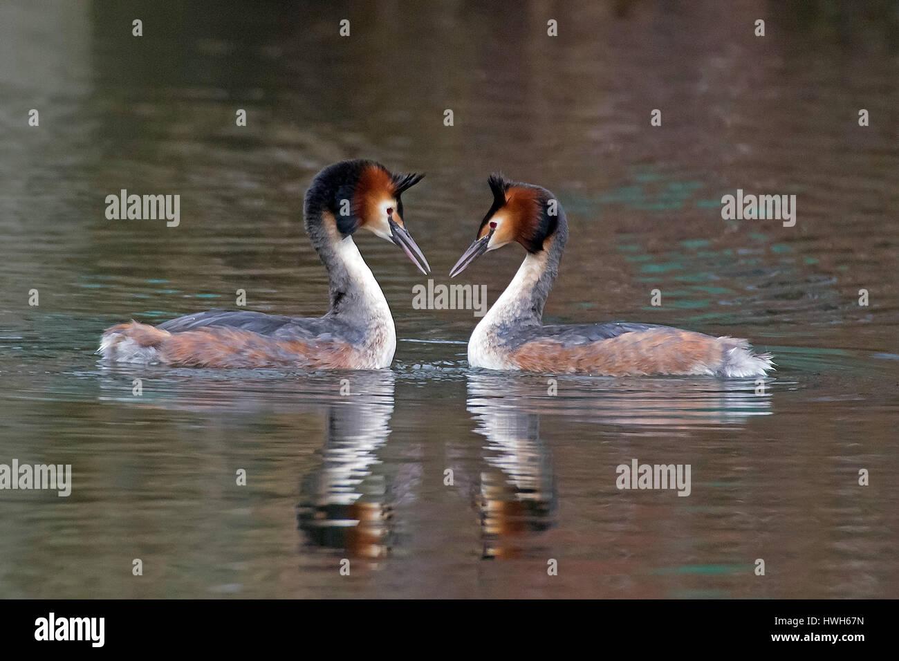 Bonnet diver in courtship display, Germany, Hamburg, birds, bonnet divers, podiceps cristatus, courtship display, - Stock Image