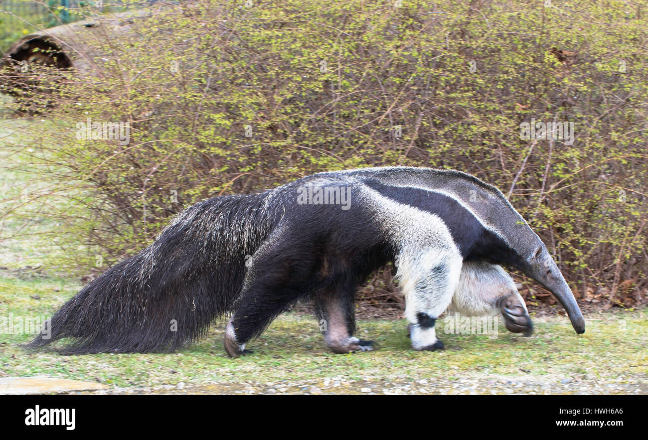 Big anteater, Germany, Berlin, zoological garden, animal park, zoo, controlled conditions, mammal, big anteater, - Stock Image