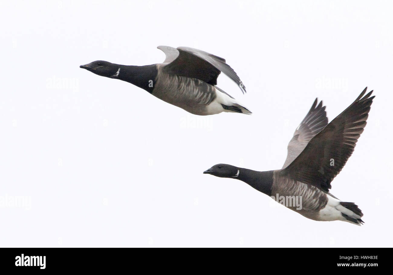 'Ringlet geese in the flight, Germany; Schleswig - Holstein; north frieze country; Hallig Hooge; island; birds; - Stock Image