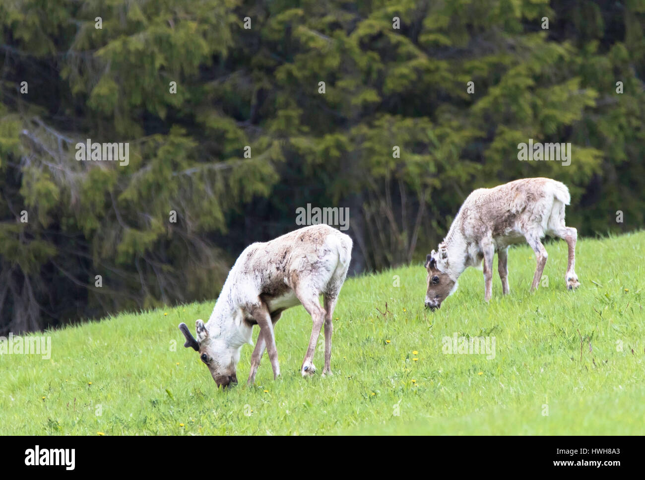 'Reindeers at the edge of the forest, Norway; Nord-Tr?ndelag, Nord-Tr ? ?ndelag, Namsskogan, mammals, reindeers, - Stock Image