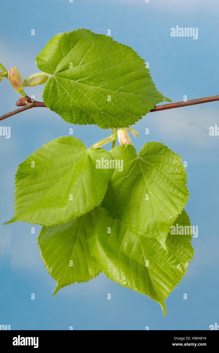 Large-leaved Lime, leaves, Tilia platyphyllos, summer lime-tree, sheets, Tilia platyphyllos  , leaves / (Tilia platyphyllos) Stock Photo