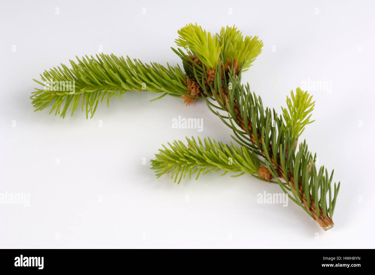 Norway Spruce, branch, Picea abies cut out, object, common spruce, branch, Picea abies free plate, branch / (Picea - Stock Image