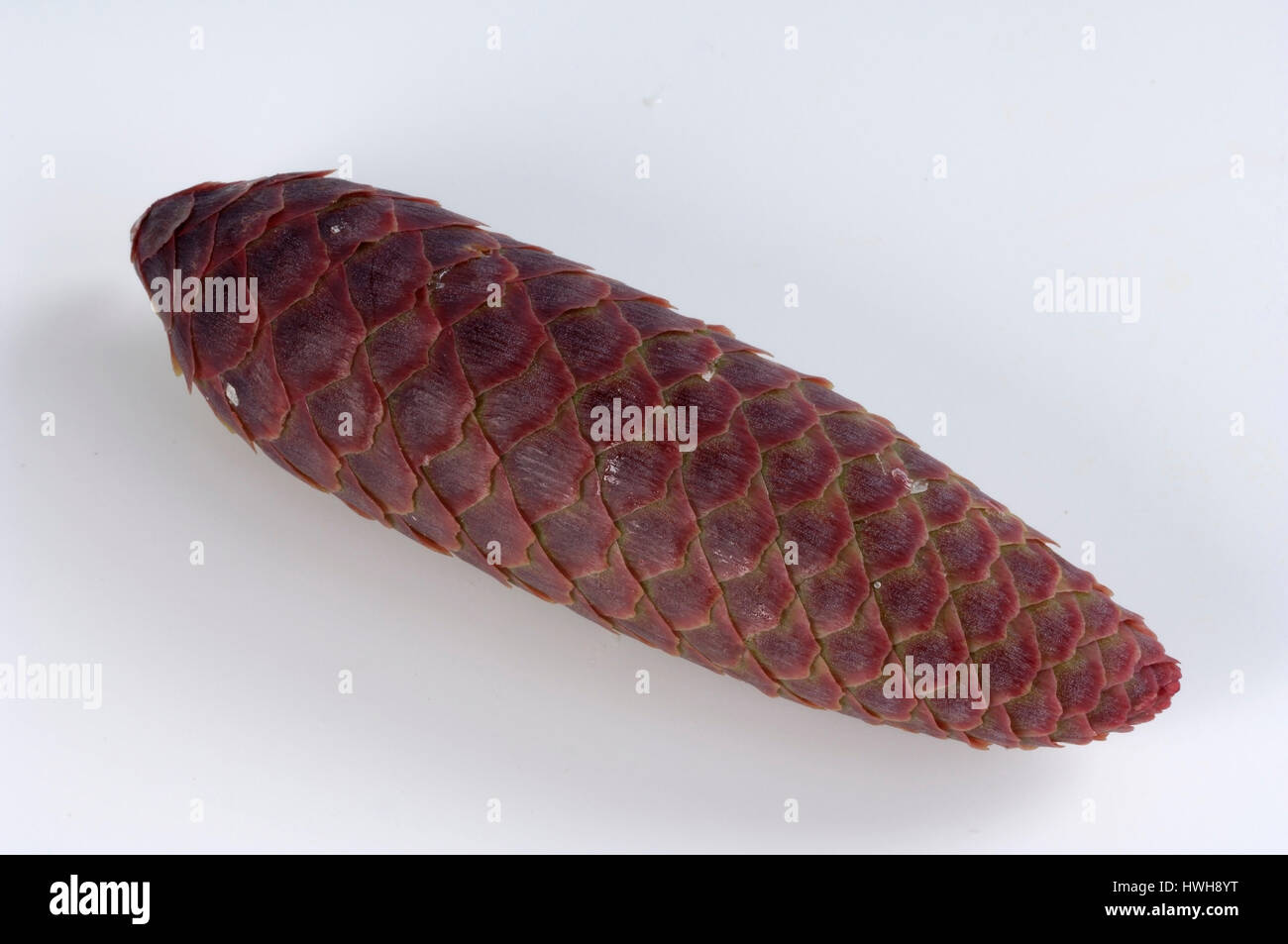 Norway Spruce, cone, Picea abies cut out, object, common spruce, plug, Picea abies free plate, cone / (Picea abies) - Stock Image