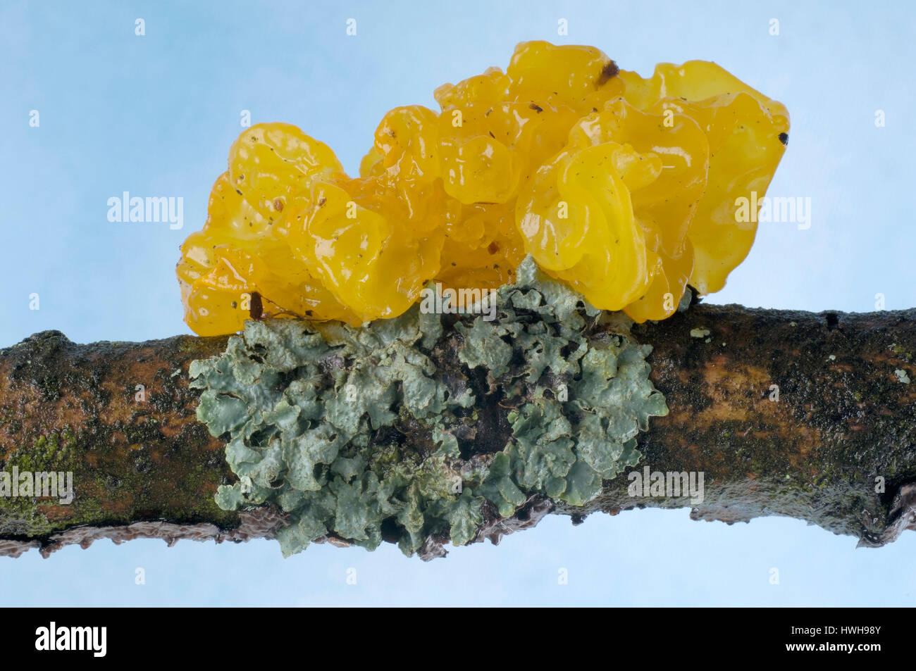 Golden brown Zitterling, Tremella mesenterica  , Goldgelber Zitterling / (Tremella mesenterica) / - Stock Image