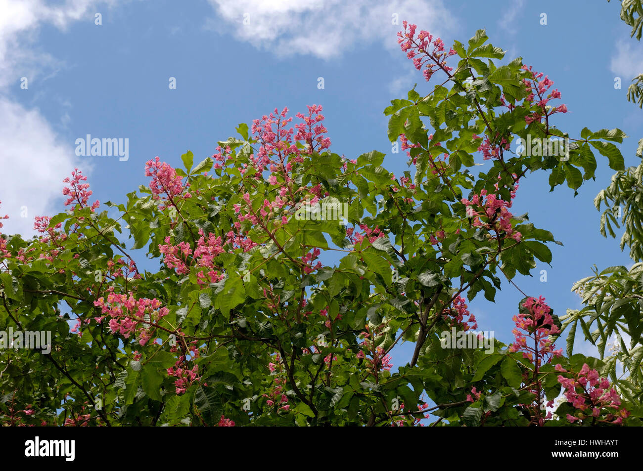 Red Chestnut, Aesculus carnea, red chestnut, Aesculus carnea brook blossoms, brook blossoms, , Red Chestnut / (Aesculus - Stock Image