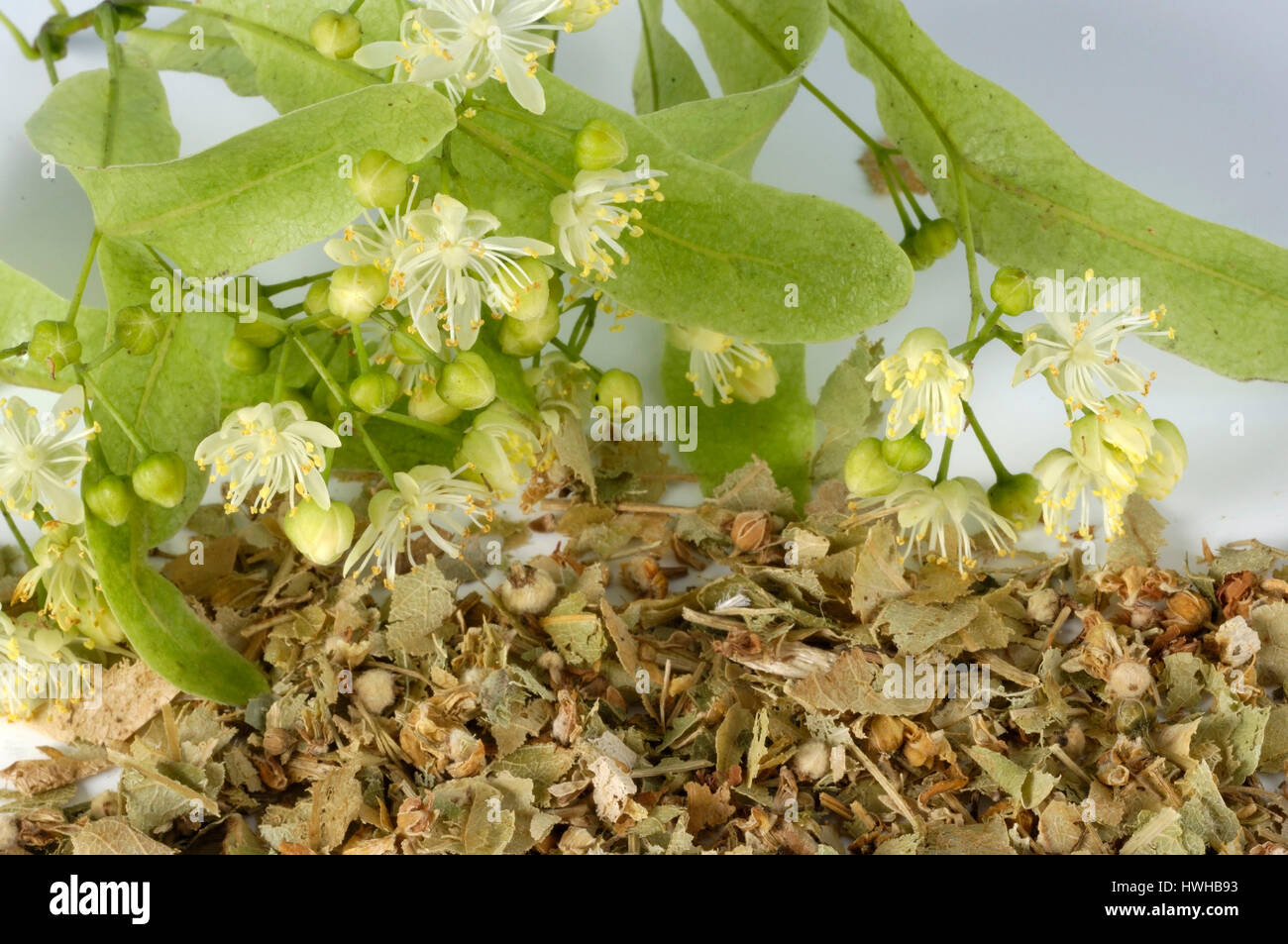 Lime, dried blooms, Tilia tomentosa, summer lime-tree, dry blossoms, Tilia tomentosa  , dried blooms / (Tilia tomentosa) Stock Photo